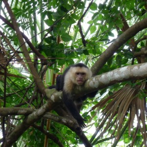 Costa Rica's White Faced Monkey